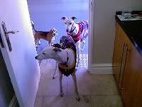 Greyhound Obedience Training