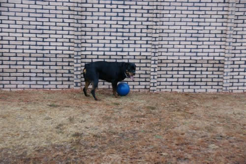 Male Rottweiler Dog Training
